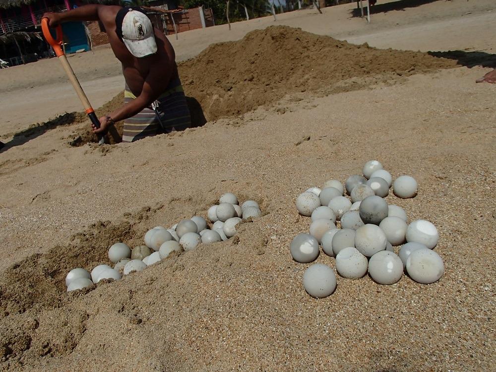 メキシコ・シポリテのビーチに落ちていたウミガメの卵の写真